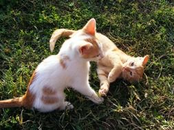 two white and red Kittens Playing on lawn