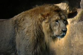 pride majestic lion