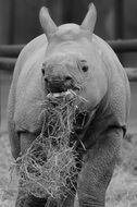 baby rhino in black and white