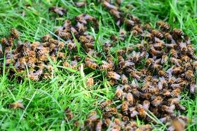 many bees on green grass close-up