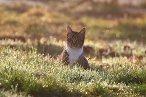 domestic cat sitting on the grass in the morning
