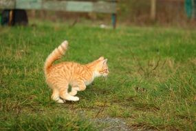 frisky red tabby kitten