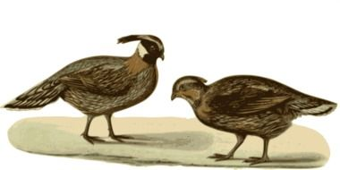 graphic representation of two pheasants