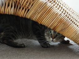 domestic cat is hiding under a wicker chair