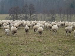 flock of sheep on pasture with green grass