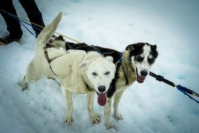 pulling sled dogs