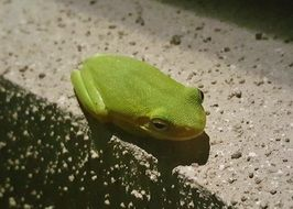 sitting green tree frog