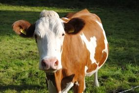 spotted brown-white cow with a stigma on the farm