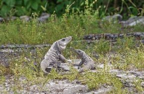 iguanas in the wild tropical nature