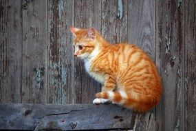 young red cat sitting on the wooden wall
