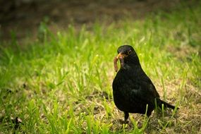 black bird with a worm in its beak