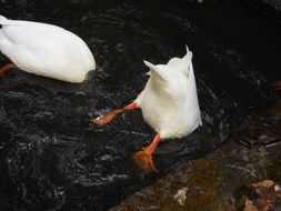white ducks hide their heads in the water
