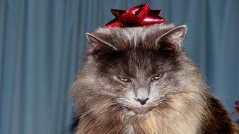 grey fluffy Cat with red bow on head