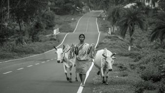 black white photo of a woman with cows