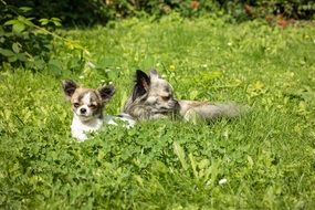 chihuahua mother with child lying on the grass