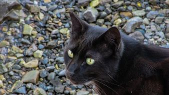black yellow-eyed cat on a background of stones
