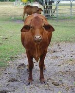 cute brown eared domestic cow on a farm