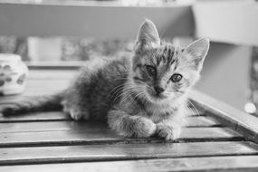 portrait of a cute kitten in black and white