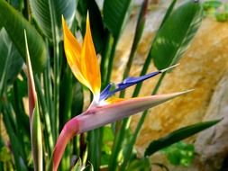 bird of paradise flower in a botanical garden in Germany