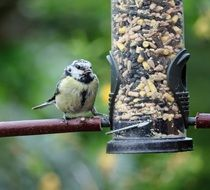 Blue tit and feeder