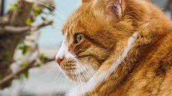 profile portrait of a red cat among nature