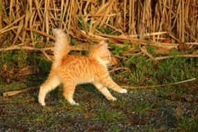 funny red young cat