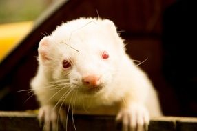 white ferret in a wooden box