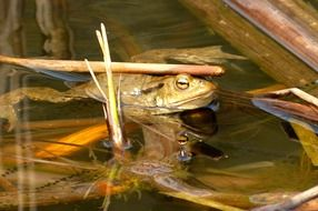 green frog in the swamp