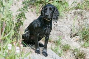 black wet spaniel on a sunny day