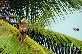 black kite behind palm leaves