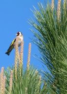 goldfinch on a pine tree against a bright blue sky