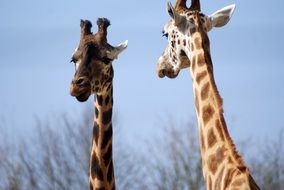 two giraffes in an african zoo