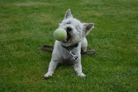 white dog playing with a ball on the meadow
