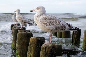 seagulls perched on piles in the Baltic Sea
