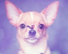 cute lovely Chihuahua dog