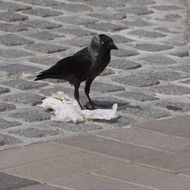 black jackdaw on the cobblestones