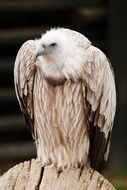 portrait of a wild vulture