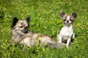 chihuahua dogs on the meadow