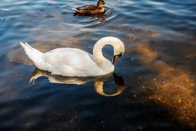 noble white swan in the water