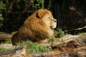 lion is a wild big cat