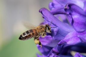 a bee flies near a purple flower