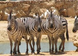splendid Zebra Front Animal