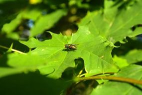 insect fly sits on a green leaf maple