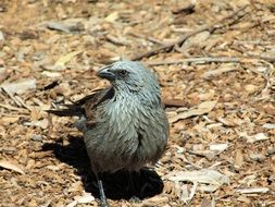 grey Apostlebird wildlife portrait