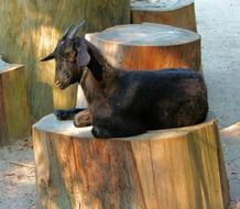 Goat on the wood