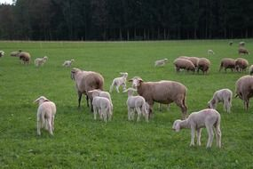flock of sheep with lambs on a green pasture