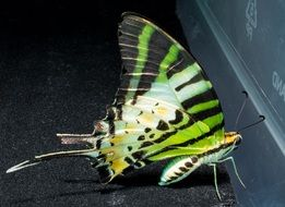 green butterfly with black stripes