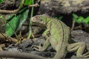 Picture of Small Antillean Iguana