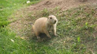 Prairie Dog, herbivorous burrowing roden on lawn
