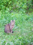 tabby cat in the summer forest